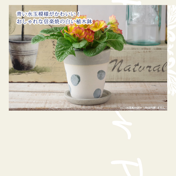 青い水玉模様がかわいい!おしゃれな信楽焼きの白い植木鉢